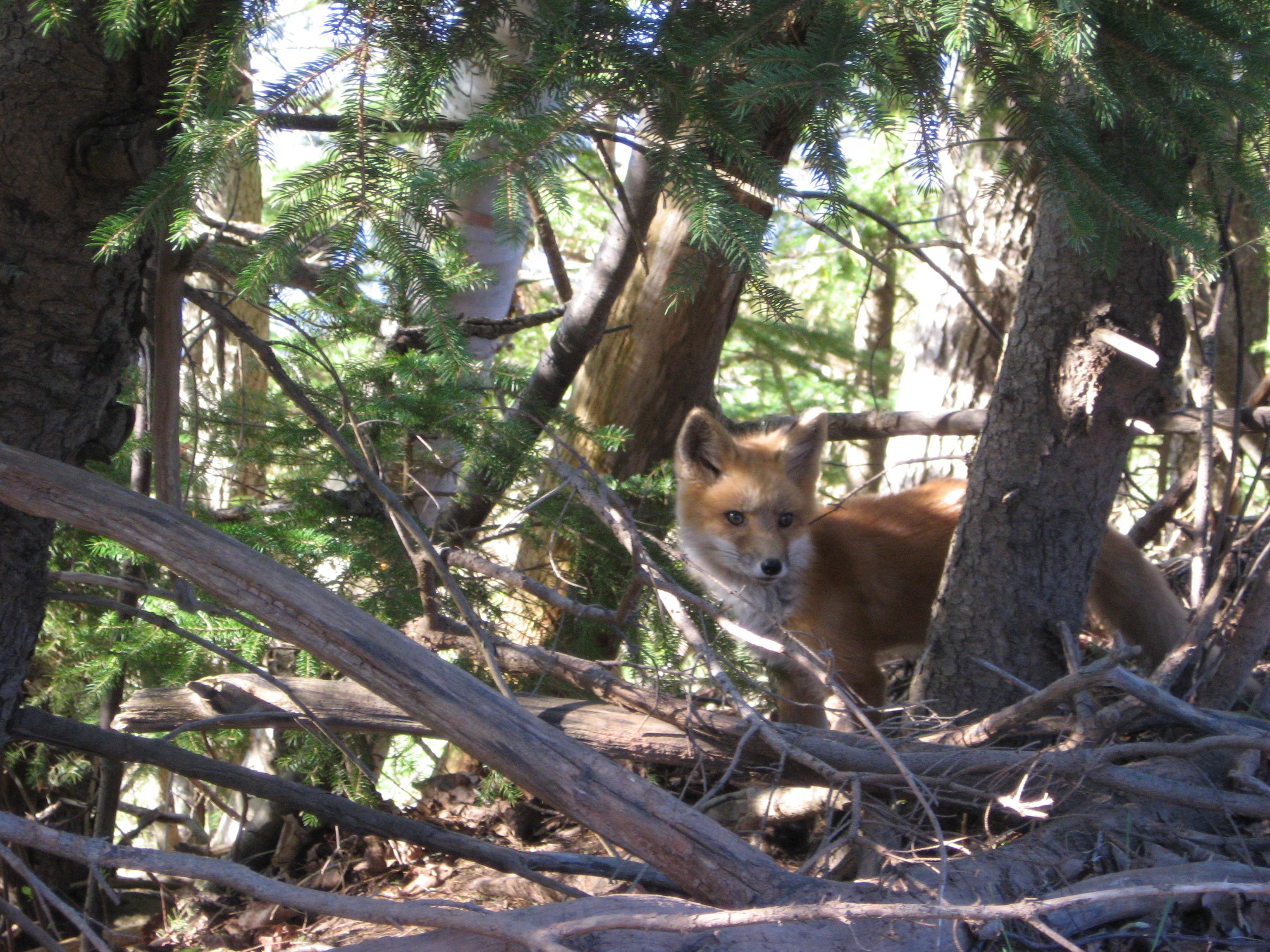 fox-in-woods