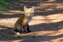 fox-pup-